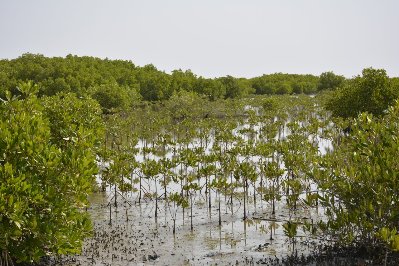 Senegal's mangroves